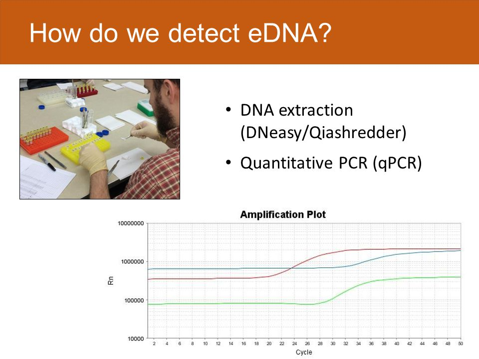 How do we detect eDNA DNA extraction (DNeasy/Qiashredder) Quantitative PCR (qPCR)