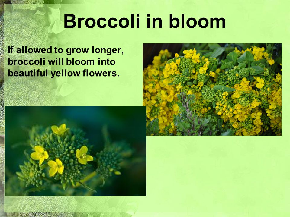 Broccoli in bloom If allowed to grow longer, broccoli will bloom into beautiful yellow flowers.