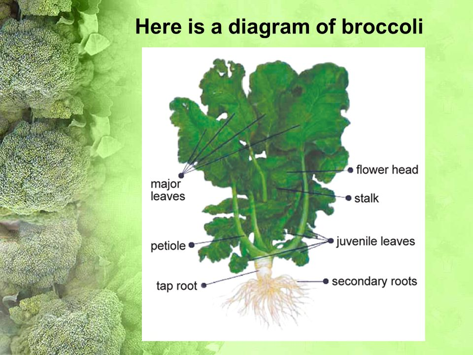 Here is a diagram of broccoli
