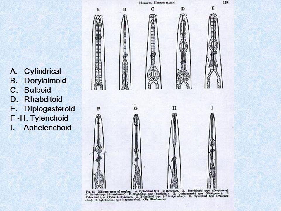 A.Cylindrical B.Dorylaimoid C.Bulboid D.Rhabditoid E.Diplogasteroid F~H. Tylenchoid I. Aphelenchoid