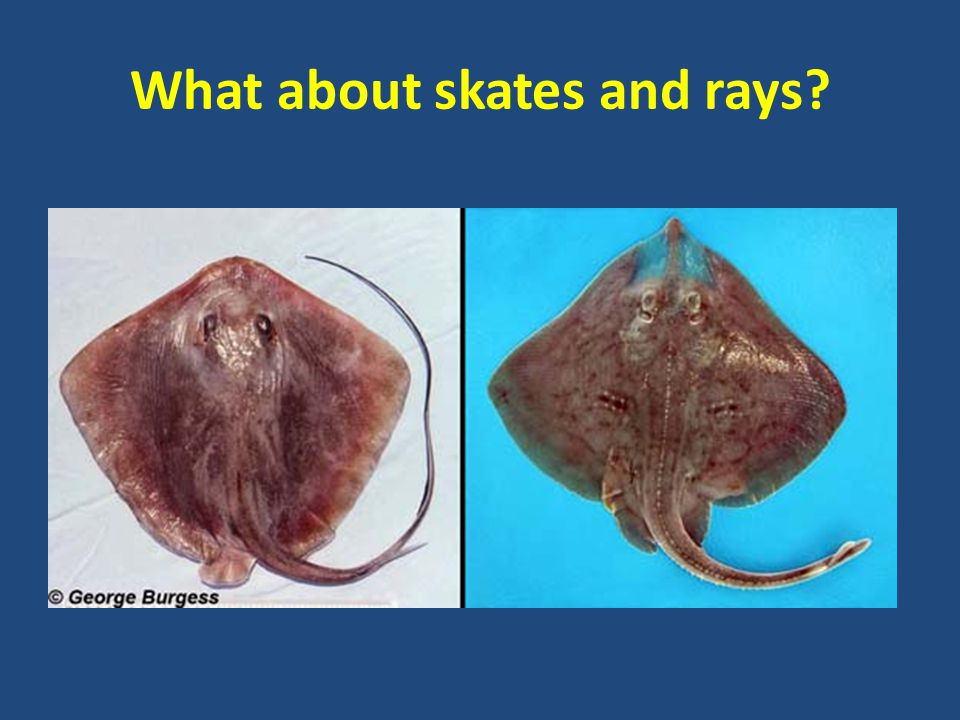 What about skates and rays