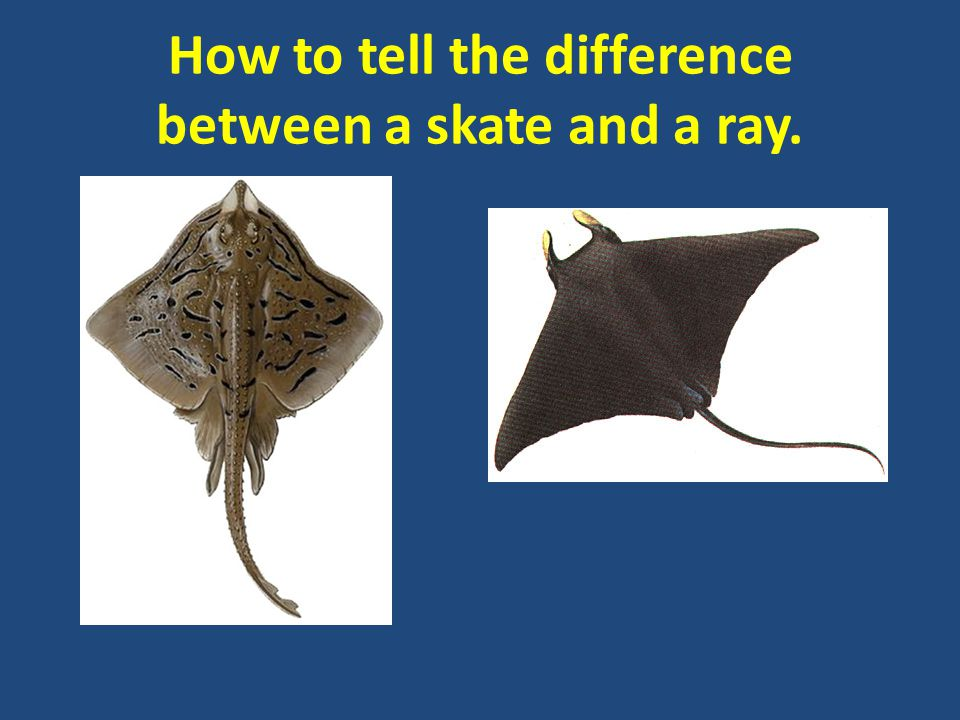 How to tell the difference between a skate and a ray.