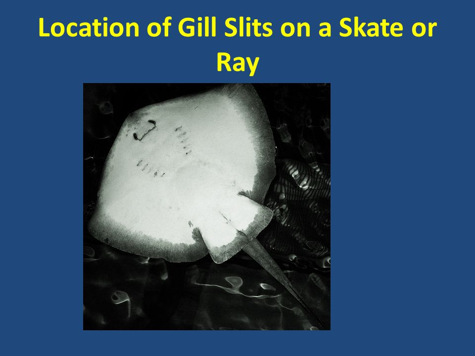 Location of Gill Slits on a Skate or Ray