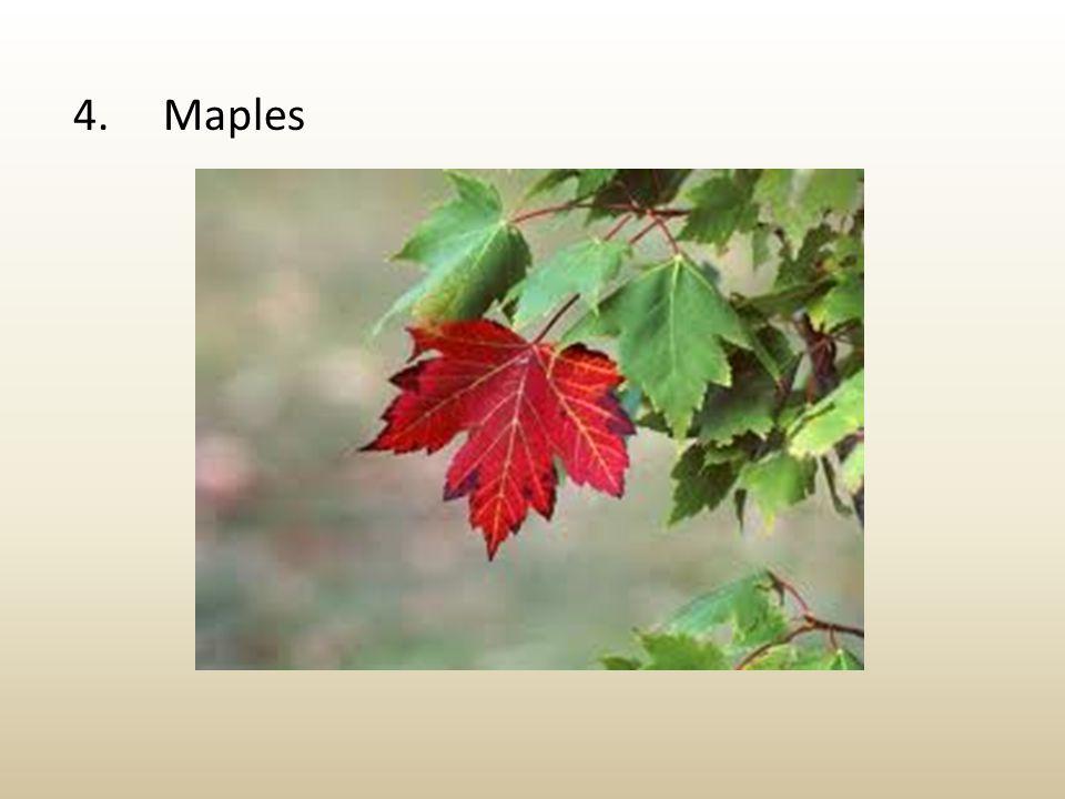 4. Maples