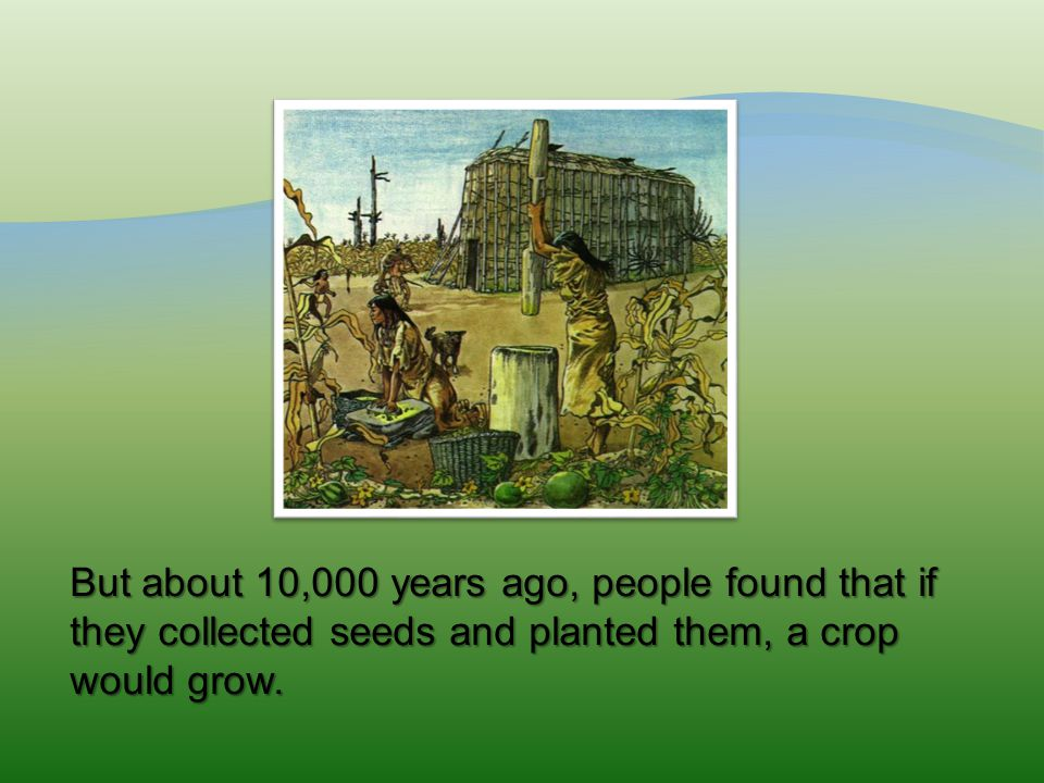 But about 10,000 years ago, people found that if they collected seeds and planted them, a crop would grow.