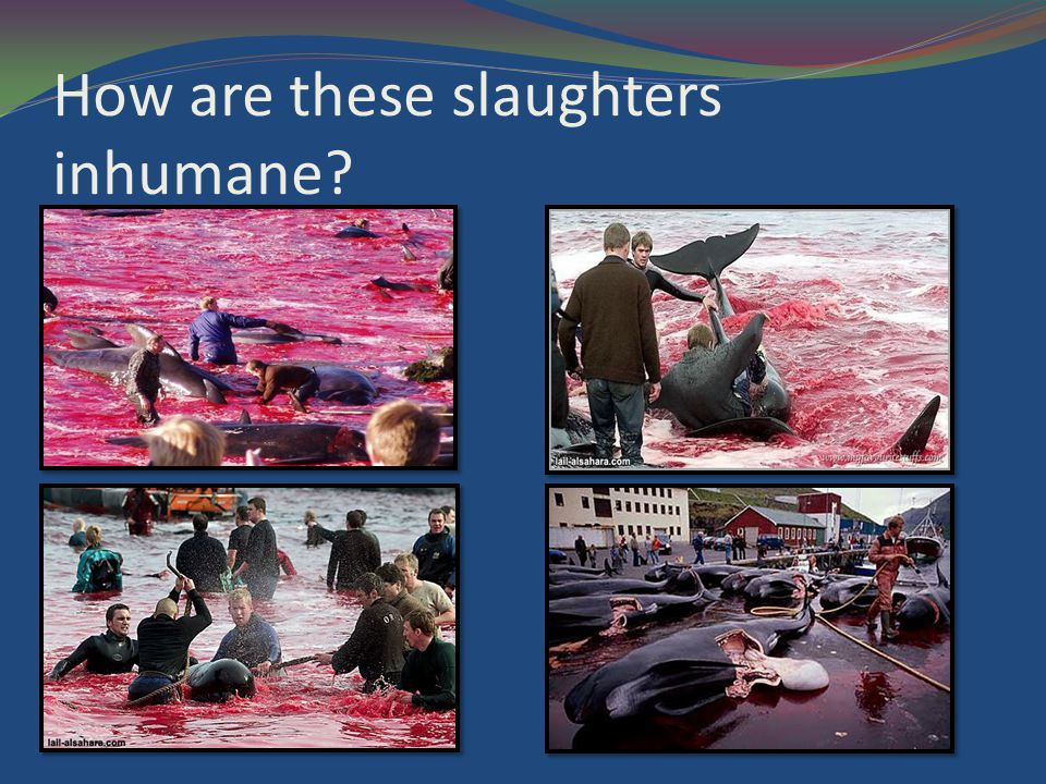 How are these slaughters inhumane