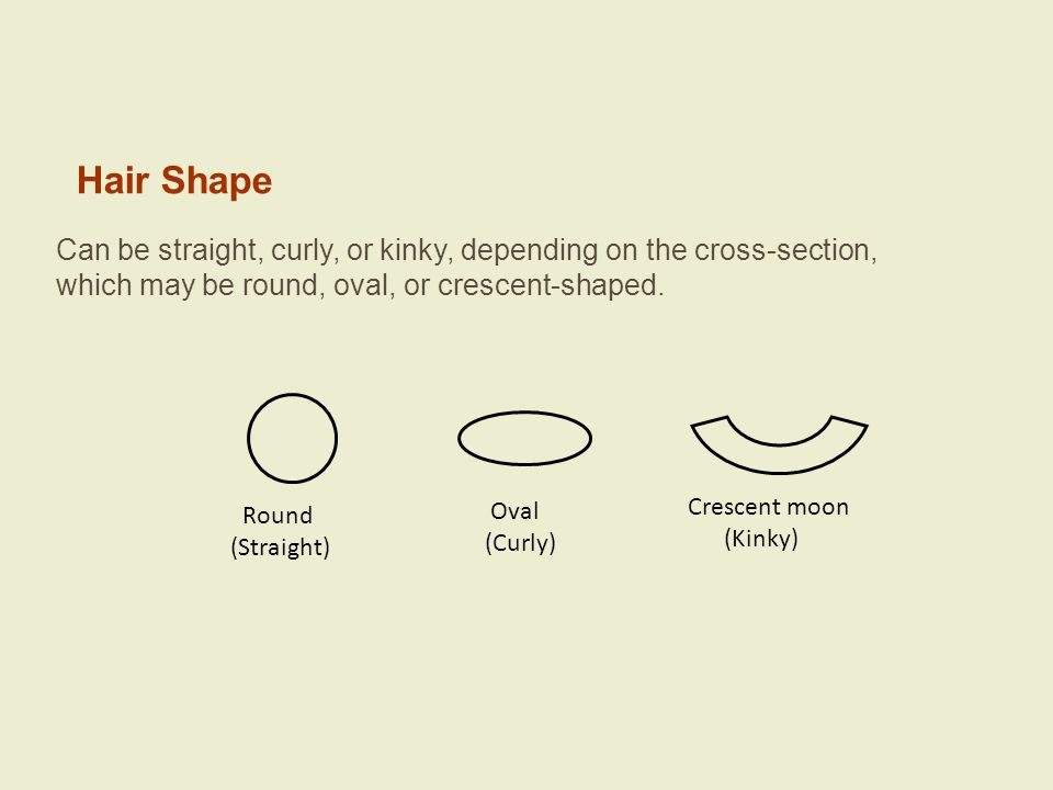 Hair Shape Can be straight, curly, or kinky, depending on the cross-section, which may be round, oval, or crescent-shaped. Round (Straight) Oval (Curl