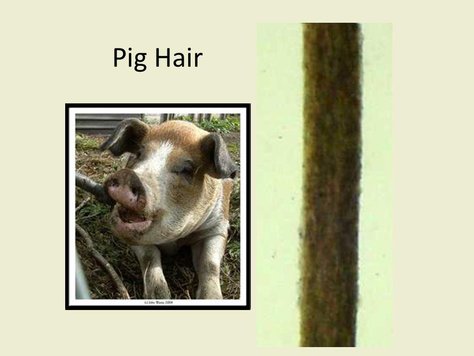Pig Hair bsapp.com