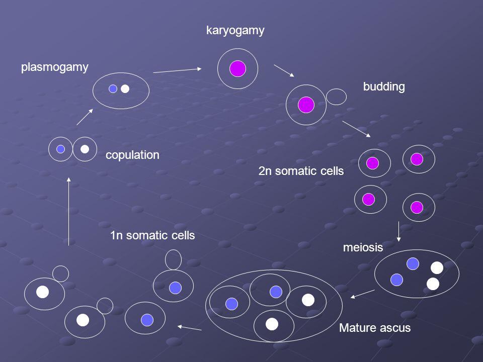 plasmogamy copulation karyogamy budding 2n somatic cells meiosis Mature ascus 1n somatic cells