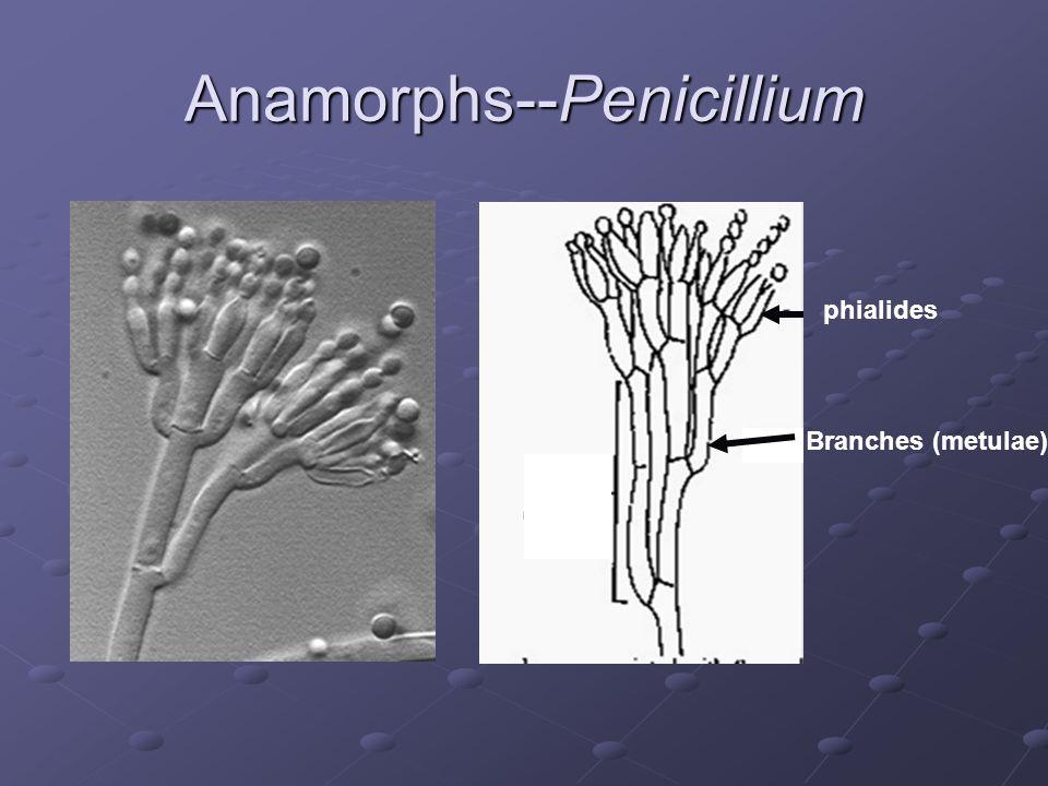 Anamorphs--Penicillium phialides Branches (metulae)