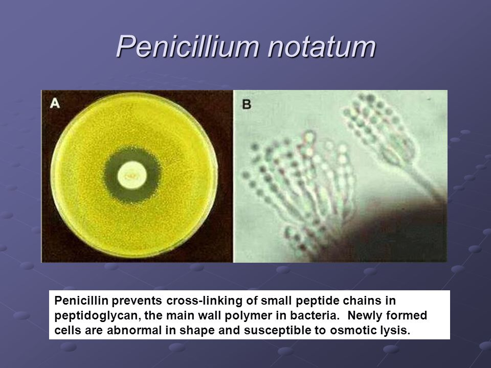 Penicillium notatum Penicillin prevents cross-linking of small peptide chains in peptidoglycan, the main wall polymer in bacteria. Newly formed cells