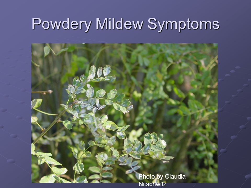 Powdery Mildew Symptoms Photo by Claudia Nitschwitz