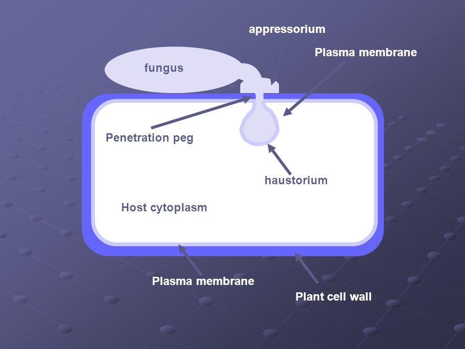 Plant cell wall Plasma membrane Host cytoplasm Plasma membrane haustorium appressorium Penetration peg fungus