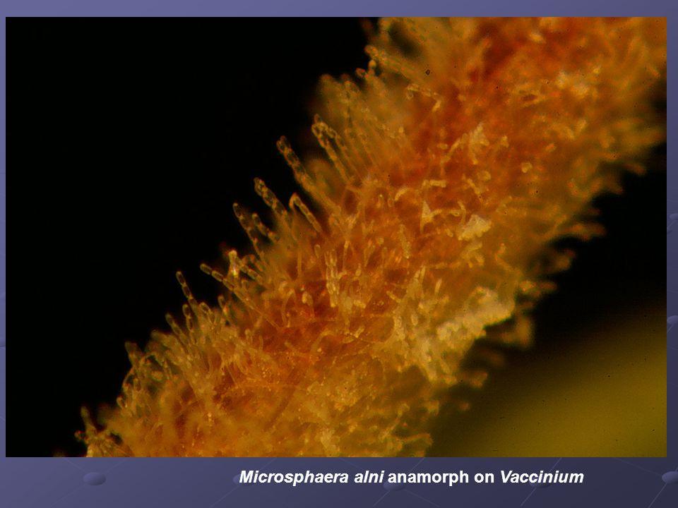 Microsphaera alni anamorph on Vaccinium