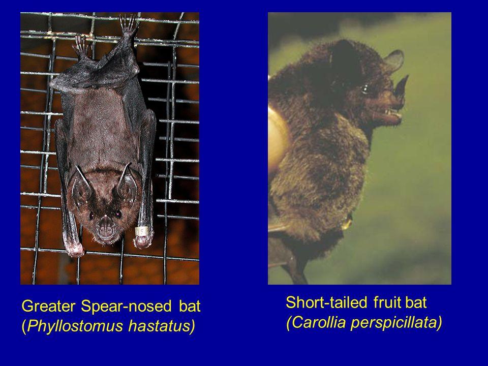 Greater Spear-nosed bat (Phyllostomus hastatus) Short-tailed fruit bat (Carollia perspicillata)