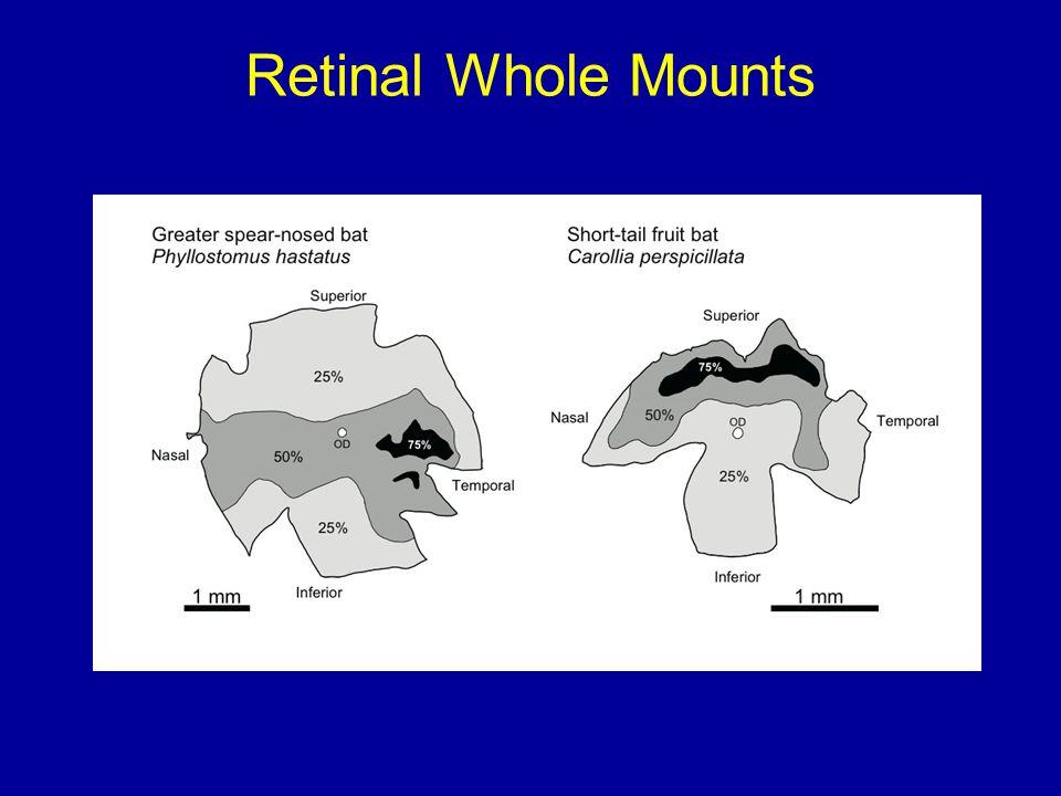 Retinal Whole Mounts