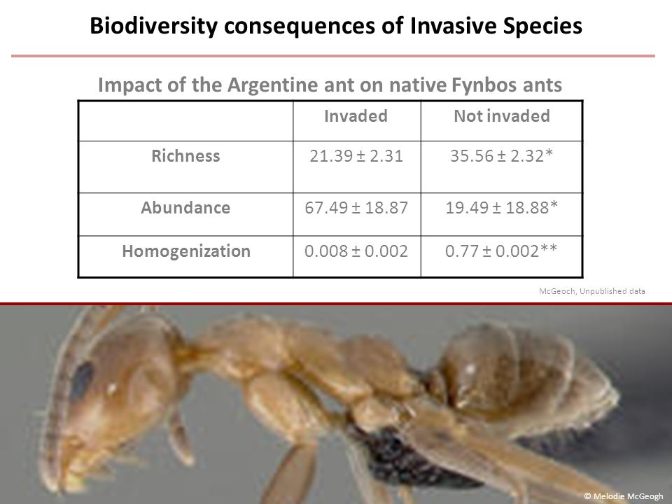 InvadedNot invaded Richness21.39 ± 2.3135.56 ± 2.32* Abundance67.49 ± 18.8719.49 ± 18.88* Homogenization0.008 ± 0.0020.77 ± 0.002** Biodiversity consequences of Invasive Species Impact of the Argentine ant on native Fynbos ants © Melodie McGeogh McGeoch, Unpublished data