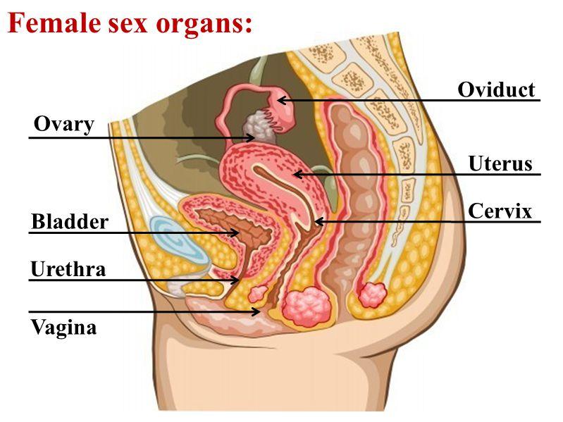 Female sex organs: Oviduct Cervix Uterus Vagina Urethra Bladder Ovary