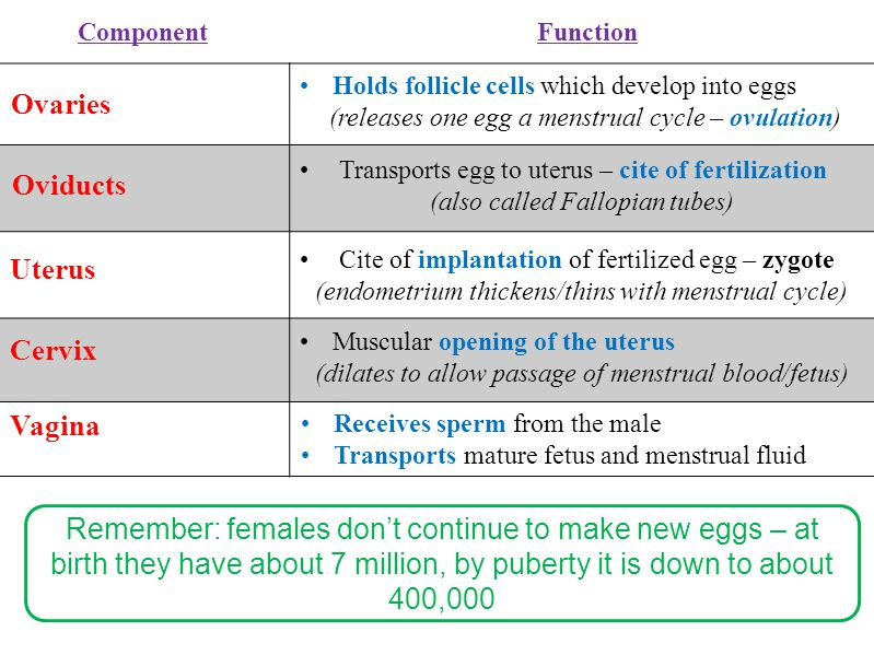 Receives sperm from the male Transports mature fetus and menstrual fluid Ovaries Holds follicle cells which develop into eggs (releases one egg a mens