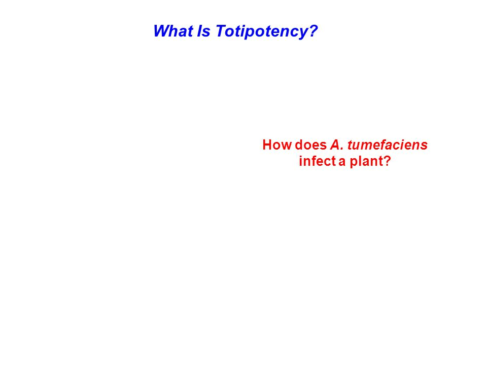 What Is Totipotency? How does A. tumefaciens infect a plant?