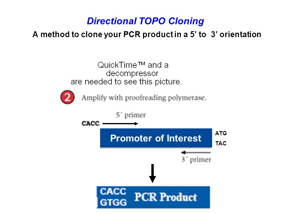 Directional TOPO Cloning A method to clone your PCR product in a 5' to 3' orientation ATG TAC Promoter of Interest