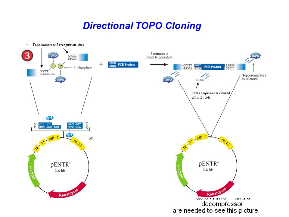 Directional TOPO Cloning Extra sequence is cleaved off in E. coli Topoisomerase I recognition sites