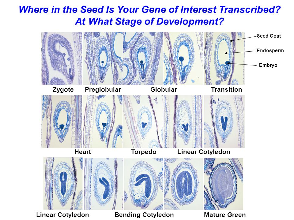 Mature Green Zygote PreglobularGlobular Transition HeartTorpedoLinear Cotyledon Bending CotyledonLinear Cotyledon Where in the Seed Is Your Gene of In