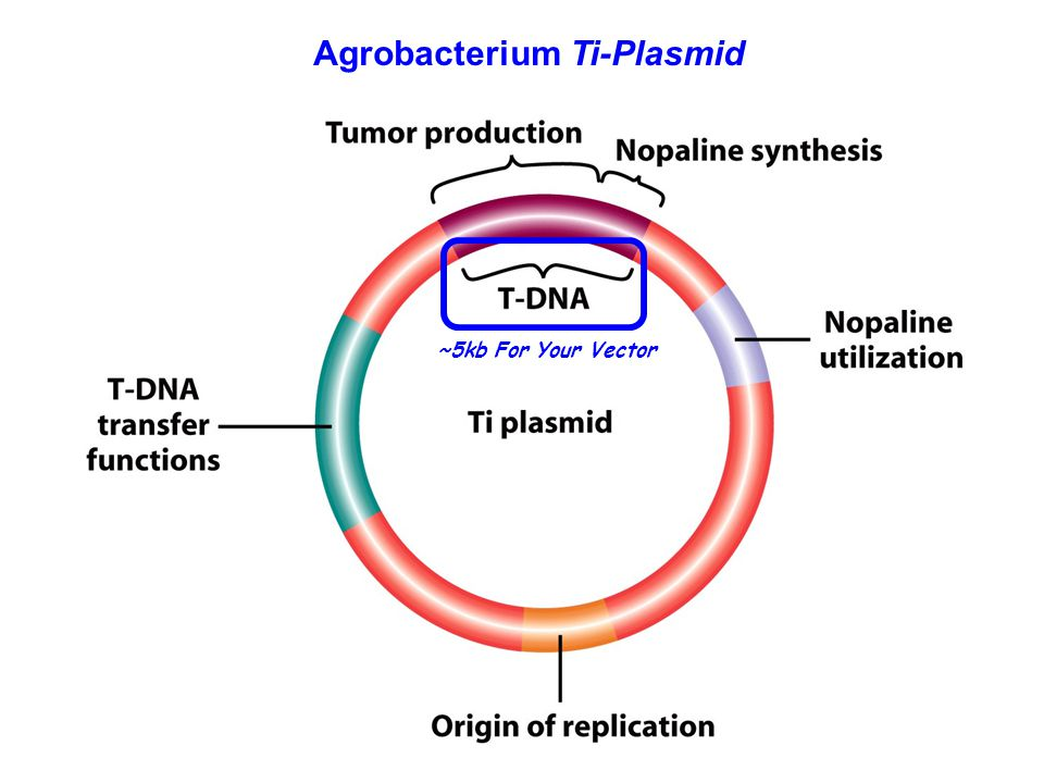 Figure 20-25 Agrobacterium Ti-Plasmid ~5kb For Your Vector