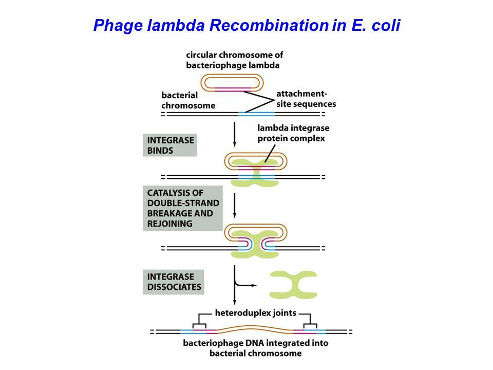 Phage lambda Recombination in E. coli
