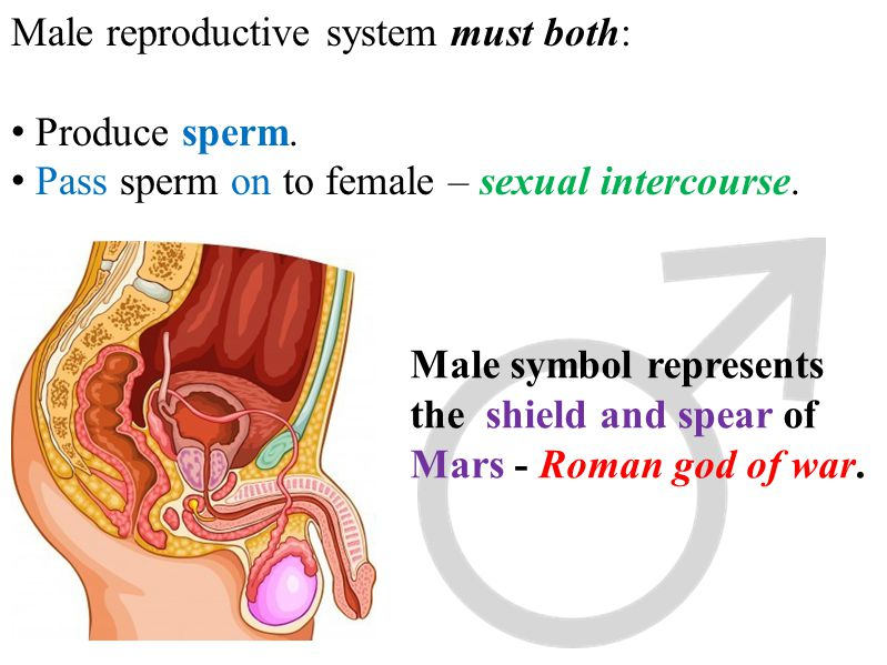 Male reproductive system must both: Produce sperm. Pass sperm on to female – sexual intercourse. Male symbol represents the shield and spear of Mars -