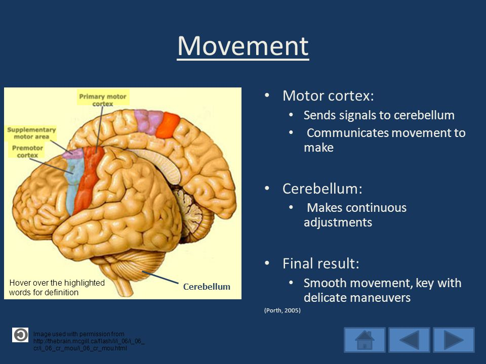 Movement Motor cortex: Sends signals to cerebellum Communicates movement to make Cerebellum: Makes continuous adjustments Final result: Smooth movement, key with delicate maneuvers (Porth, 2005) Image used with permission from http://thebrain.mcgill.ca/flash/i/i_06/i_06_ cr/i_06_cr_mou/i_06_cr_mou.html Cerebellum Hover over the highlighted words for definition