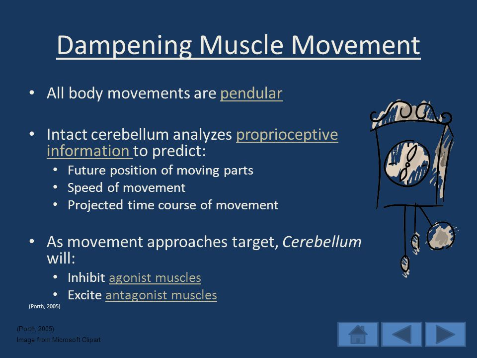 Dampening Muscle Movement All body movements are pendularpendular Intact cerebellum analyzes proprioceptive information to predict:proprioceptive information Future position of moving parts Speed of movement Projected time course of movement As movement approaches target, Cerebellum will: Inhibit agonist musclesagonist muscles Excite antagonist musclesantagonist muscles (Porth, 2005) Image from Microsoft Clipart (Porth, 2005)