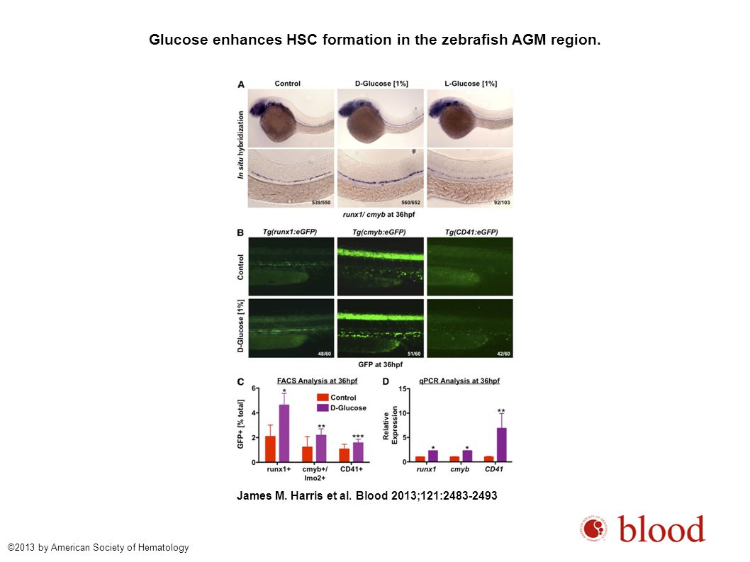 Glucose accelerates the onset and output of definitive hematopoiesis in the AGM.