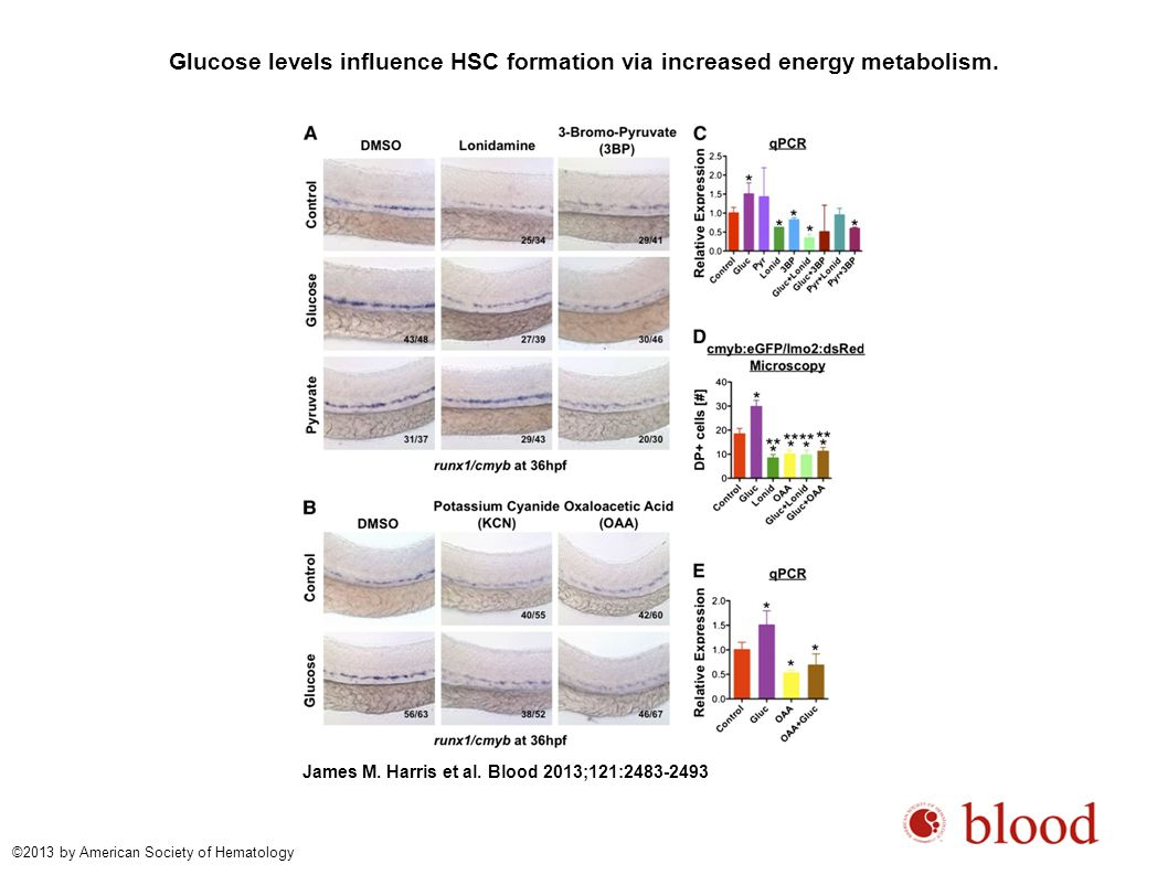 Glucose levels influence HSC formation via increased energy metabolism.