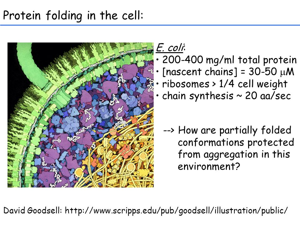 Protein folding in the cell: E.