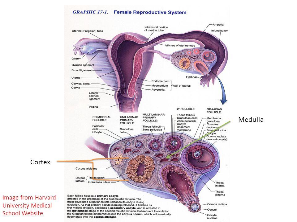 Ovarian Cortex Follicles Mesothelium (also called germinal epithelium)
