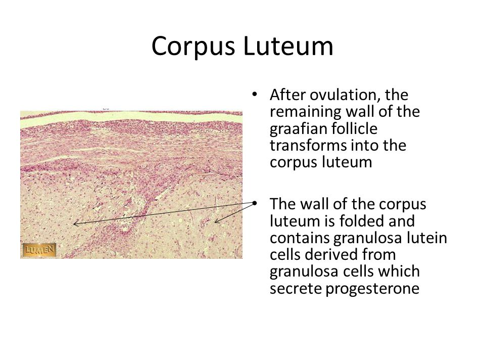 Corpus Albicans In the absence of fertilization the corpus luteum degenerates, decreases in size and form the corpus albicans which consists of dense connective tissue