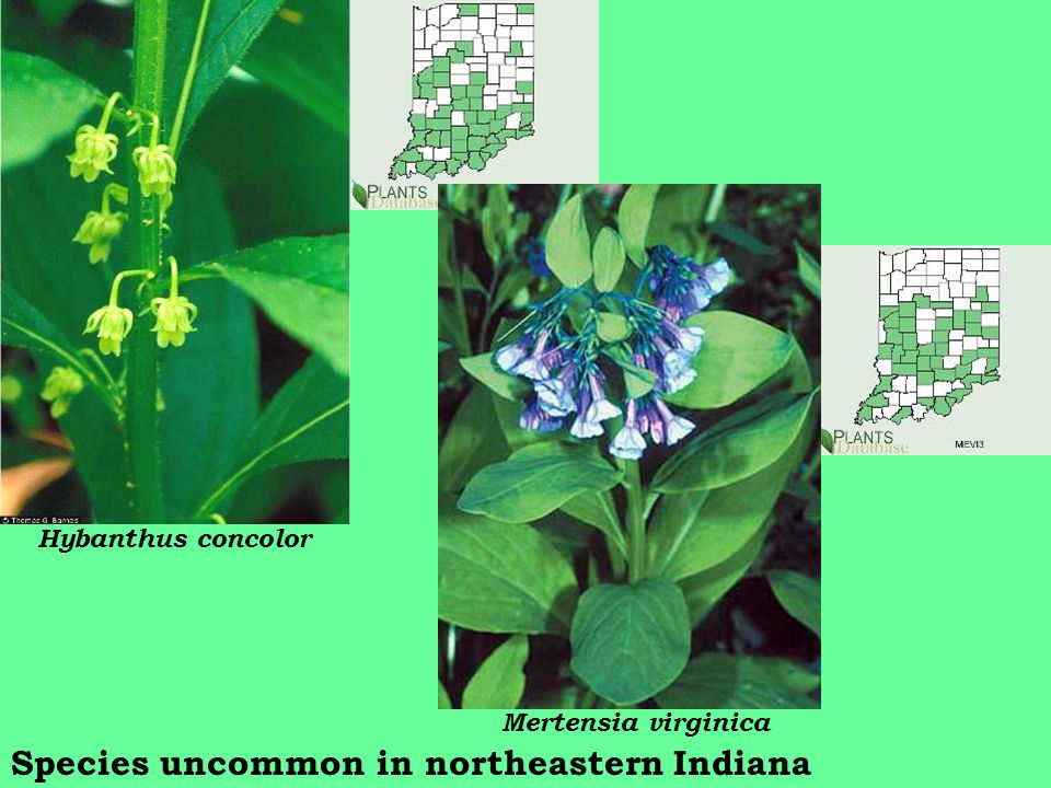 Hybanthus concolor Species uncommon in northeastern Indiana Mertensia virginica