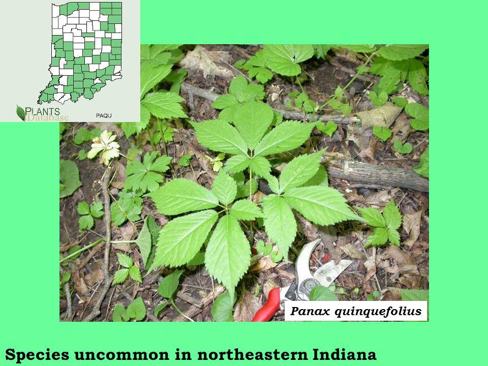 Species uncommon in northeastern Indiana Panax quinquefolius