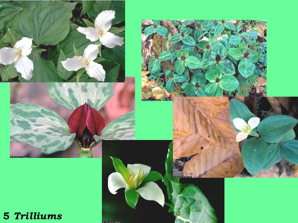 5 Trilliums