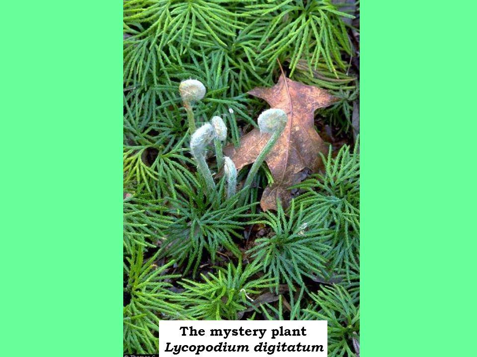 The mystery plant Lycopodium digitatum