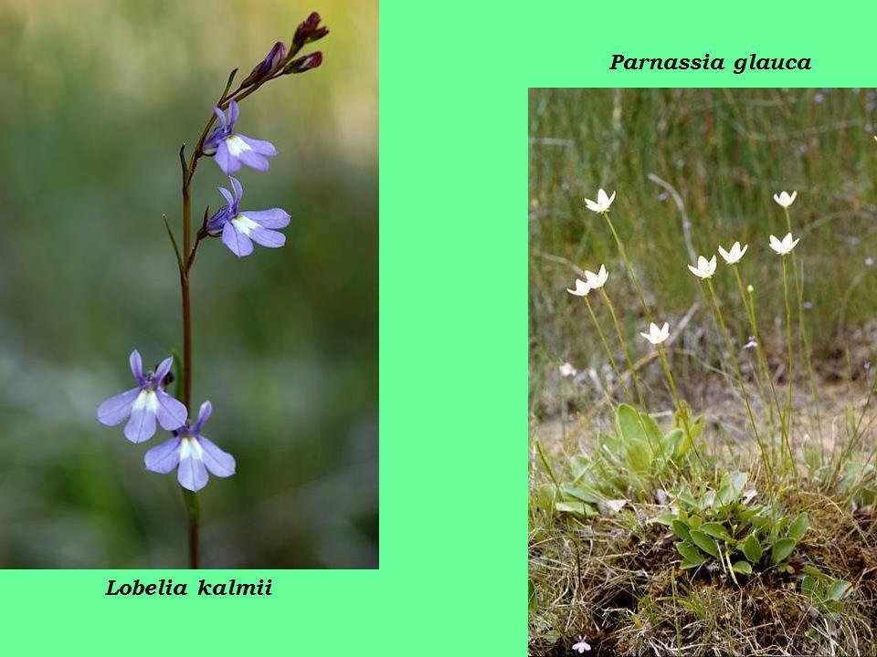 Lobelia kalmii Parnassia glauca
