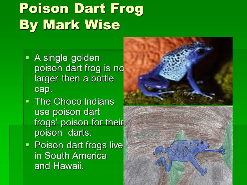 Poison Dart FrogBy Mark Wise  A single golden poison dart frog is no larger then a bottle cap.
