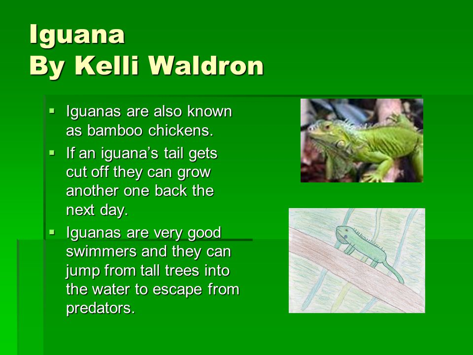 Iguana By Kelli Waldron IIIIguanas are also known as bamboo chickens.