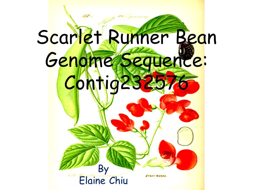 Scarlet Runner Bean Genome Sequence: Contig232576 By Elaine Chiu