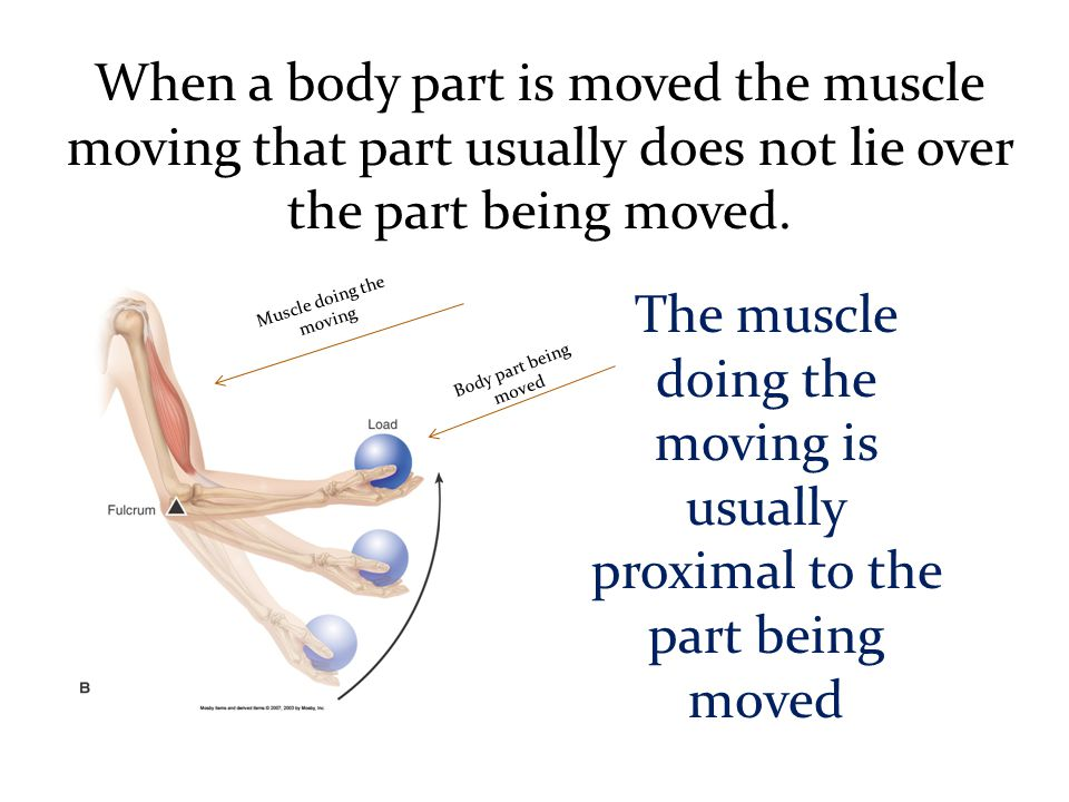 When a body part is moved the muscle moving that part usually does not lie over the part being moved. The muscle doing the moving is usually proximal
