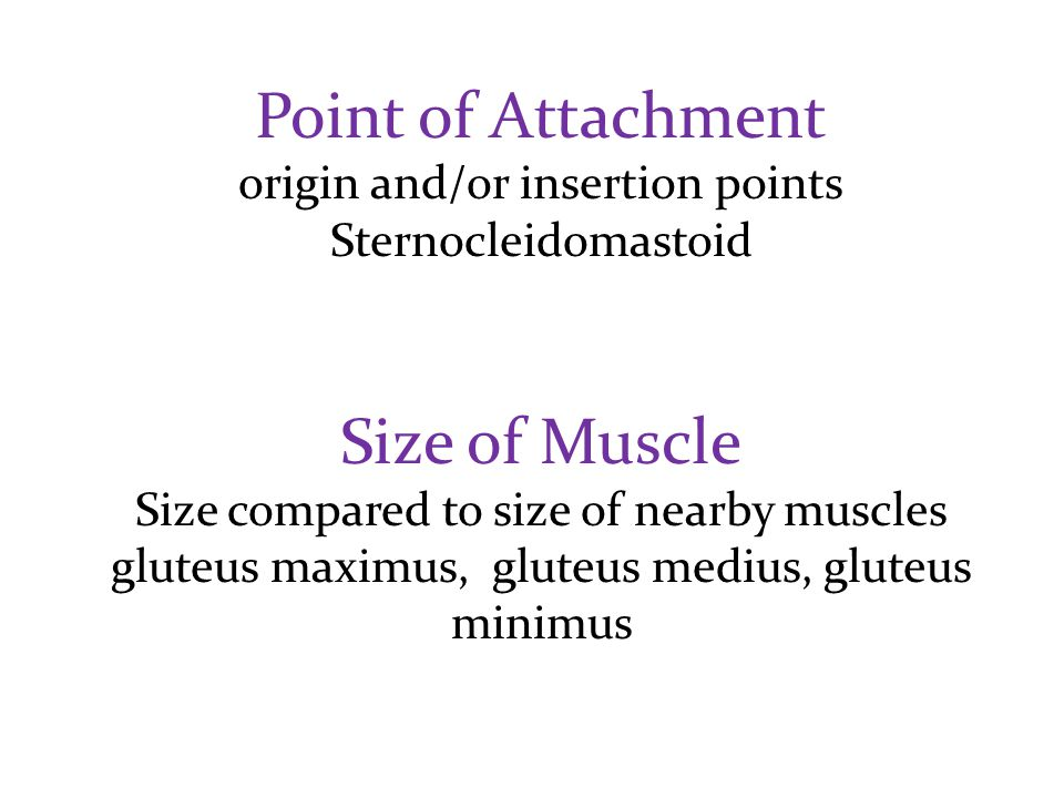 Point of Attachment origin and/or insertion points Sternocleidomastoid Size of Muscle Size compared to size of nearby muscles gluteus maximus, gluteus