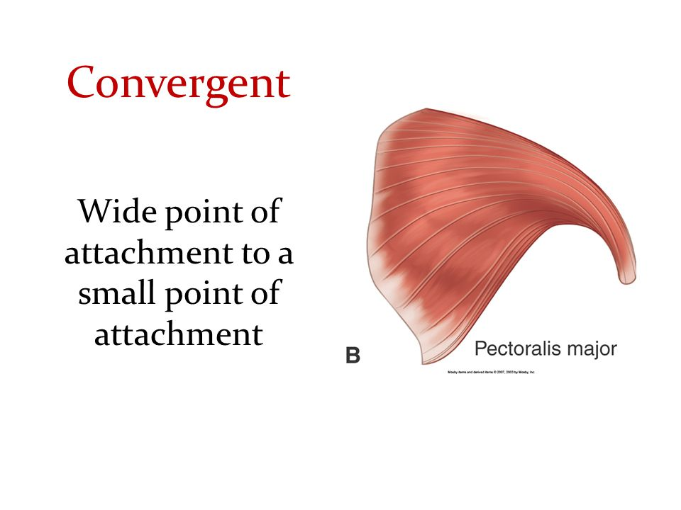 Convergent Wide point of attachment to a small point of attachment