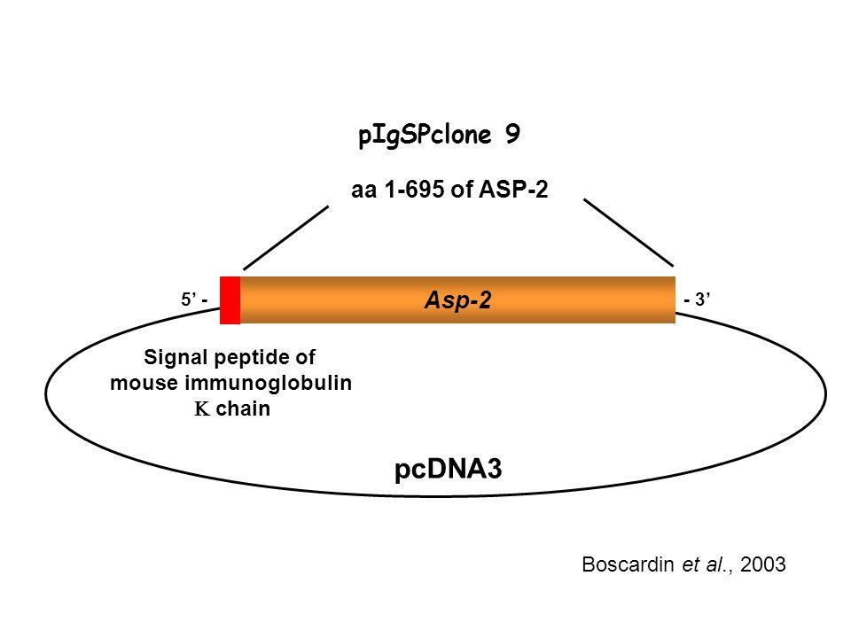 pIgSPclone 9 Boscardin et al., 2003 aa 1-695 of ASP-2 - 3' Asp-2 5' - Signal peptide of mouse immunoglobulin  chain pcDNA3