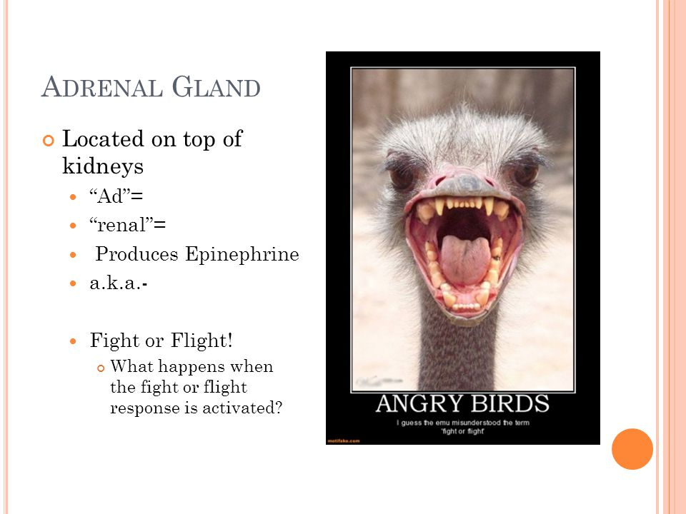 A DRENAL G LAND Located on top of kidneys Ad = renal = Produces Epinephrine a.k.a.- Fight or Flight.